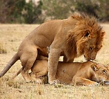 Apparent Tenderness. Lions Copulating, Maasai Mara, Kenya  by Carole-Anne