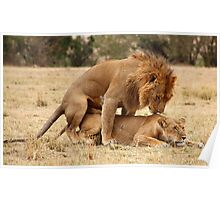Apparent Tenderness. Lions Copulating, Maasai Mara, Kenya  Poster