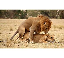 Apparent Tenderness. Lions Copulating, Maasai Mara, Kenya  Photographic Print