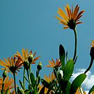African daisies by stopthat