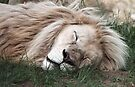 White Lion Sleeping by Carole-Anne