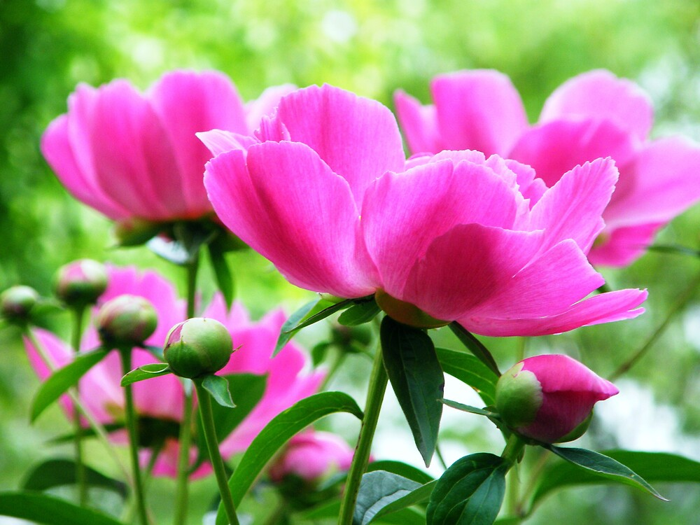 peonies by stopthat