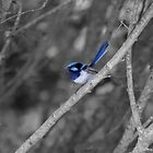 Superb Fairy - wren by Paul Campbell  Photography