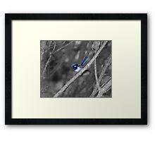 Superb Fairy - wren Framed Print