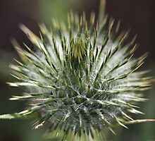 Round Green Thistle Bud by Joy Watson