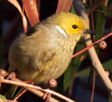 White-plumed Honeyeater Sticker