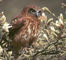 Boobook Owl - England by Simon Coates