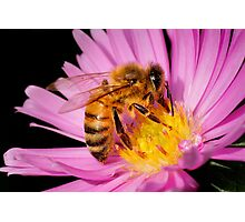 DOMESTIC HONEY BEE Photographic Print