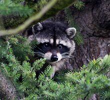 Lil Kim  The Racoon In My Yard by IanPharesPhoto