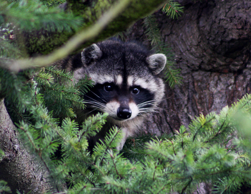 Lil Kim  The Racoon In My Yard by IanPharesPhoto