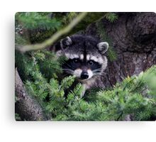 Lil Kim  The Racoon In My Yard Canvas Print