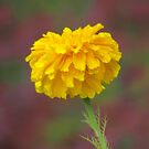 The Marigold by Paul Gitto