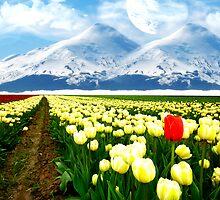 tulips  by buffaloboy