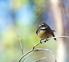 Grey Fantail by Peter Ford