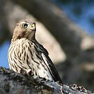 Cooper's Hawk close up by RichImage