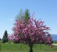 Crab Apple Tree by Katie  Marie