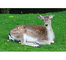 Deer........ Photographic Print