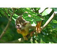 Squirrel monkey.......... Photographic Print