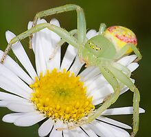 Crab Spider by Greg Carlill