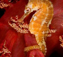 White's seahorse by LeanderWiseman