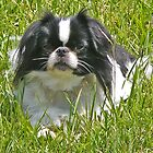 Sleepy Japanese Chin by Hunter Guess