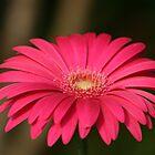 Pink Flower by Sally Haldane