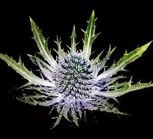 Thistle by Artway