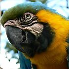Macaw by AngelaFoster