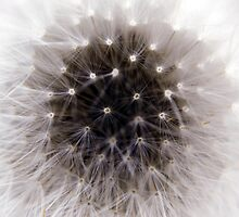 Dandelion Weed Macro by Rod  Adams