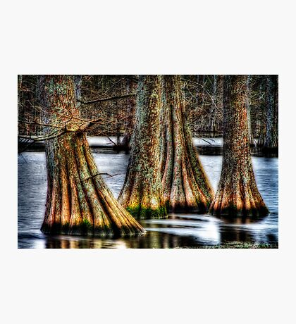 Cypress Quad Photographic Print