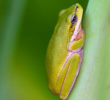 Eastern Sedge Frog by Greg Carlill