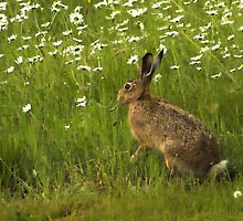 Brown Hare by SWEEPER