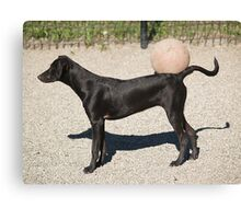 black dog & ball Canvas Print