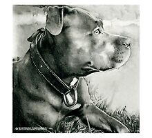 Staffordshire Bull Terrier  by bigworldpicture