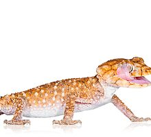 Rough Knob Tailed Gecko [Nephrurus amyae] by Shannon Benson
