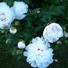 Peonies in Bloom by gypsykatz