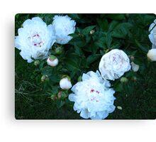 Peonies in Bloom Canvas Print