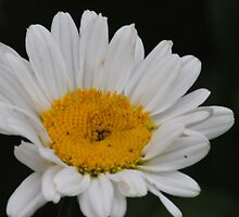 Pure white with a spot of yellow by sholder