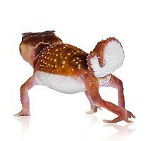 Smooth Knobtail Gecko [Nephrurus levis levis] by Shannon Benson