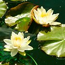THE LILY POND by Madeline M  Allen