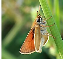 Common Branded Skipper Photographic Print