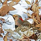 Northern Yellow-Shafted Flicker Woodpecker - Colaptes auratus  by MotherNature