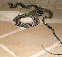 Hunting snake - Rasa Ria, Tuaran - Borneo by David Meyer