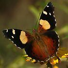 Yellow Admiral  by David Cook
