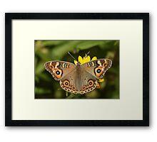 Meadow Argus Framed Print