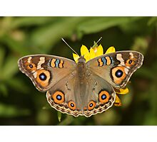Meadow Argus Photographic Print