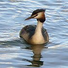 A Greater Crested Grebe by AARDVARK