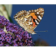 Australian Painted Lady Photographic Print