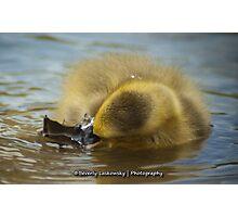 Baby Goose (2) Photographic Print