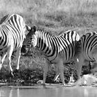 Spooked Burchell's Zebras by Hannah Shaw
